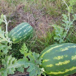 odla vattenmelon sverige